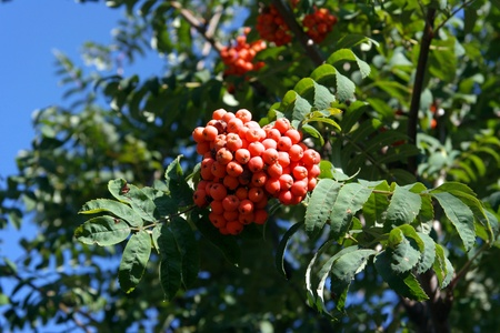 bacca: ashberry at dry sunny day