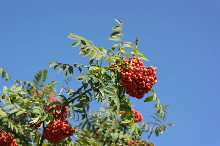 ashberry at dry sunny day  Stock Photo - 15077149