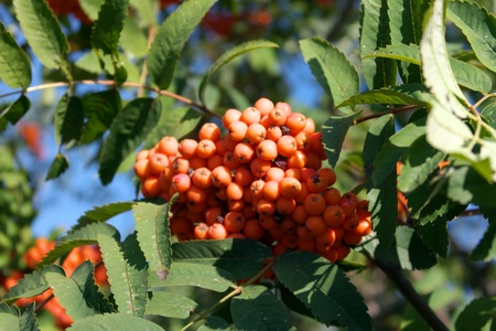 fascicle: ashberry at dry sunny day