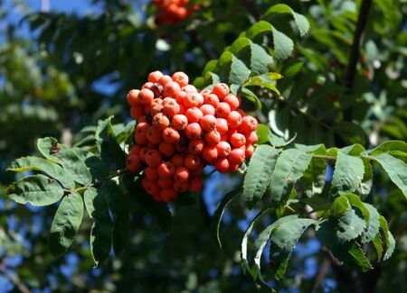 ashberry at dry sunny day Stock Photo - 15128780
