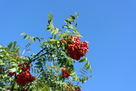 ashberry at dry sunny day Stock Photo - 15128782