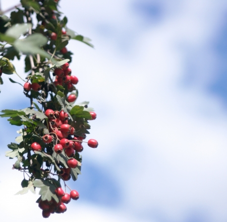 red berry at dry sunny day photo