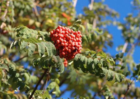 ashberry at dry sunny day photo