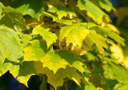 yellow maple leafs on tree photo