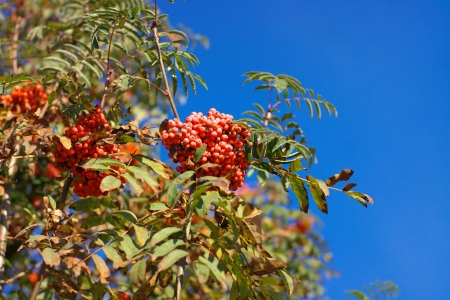 ashberry at dry sunny day Stock Photo - 15341150