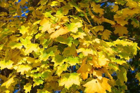 yellow maple leafs on tree photo