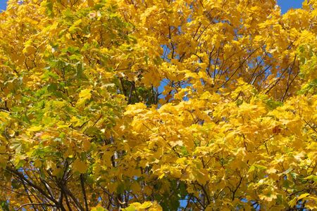 yellow maple leafs on tree Stock Photo - 15407292
