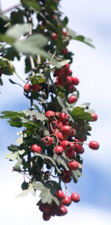 red berry at dry sunny day Stock Photo - 15415900