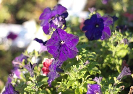 blue flower Campanula ad dry sunny day photo
