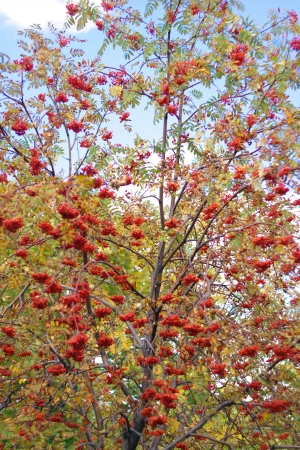 sorbus: ashberry at dry sunny day