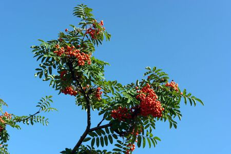 ashberry at dry sunny day Stock Photo - 15451349