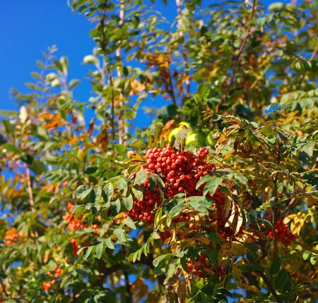 ashberry at dry sunny day Stock Photo - 15459829