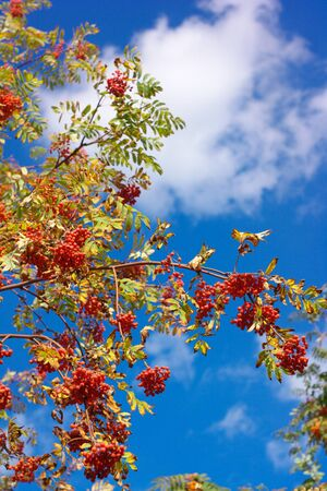 ashberry at dry sunny day Stock Photo - 15532961