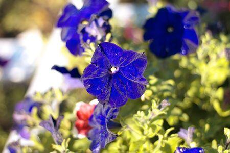 blue flower Campanula ad dry sunny day photo