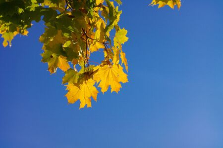 yellow maple leafs on tree Stock Photo - 15549188