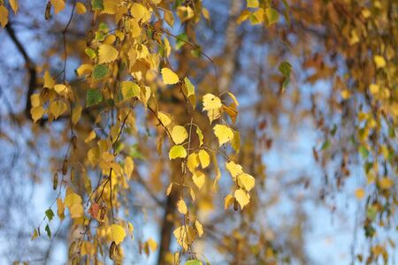 birch at autumn day Stock Photo - 15861391