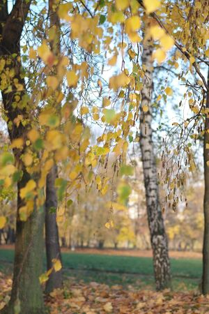 birch at autumn day Stock Photo - 15861393