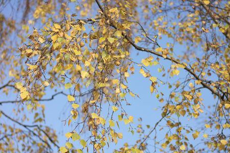 birch at autumn day  photo