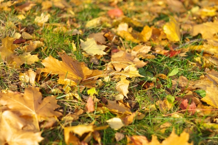 yellow maple carpet at autumn Stock Photo - 16343148