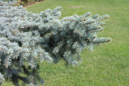 fir tree photo