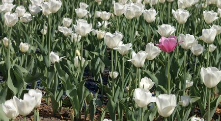 White Tulip at Spring photo