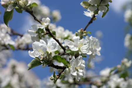 Apple Flower at Spring photo