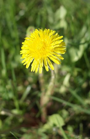 Dandelion at Spring photo
