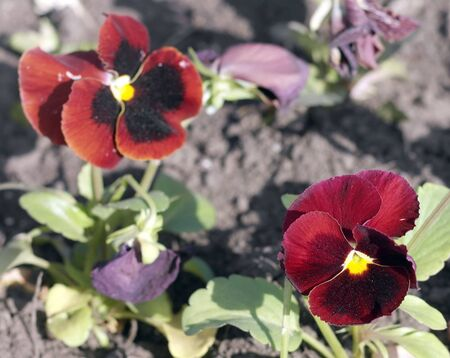 Red Viola at Spring photo