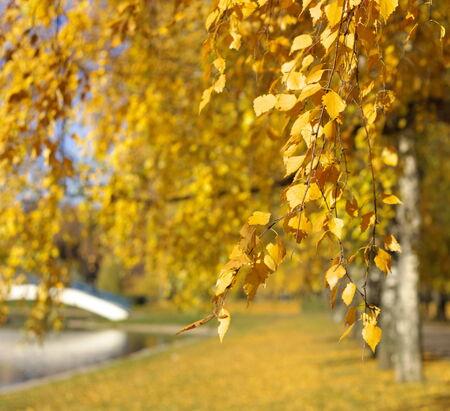 birch at autumn day photo
