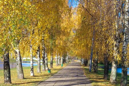Birch Alley at Autumn photo
