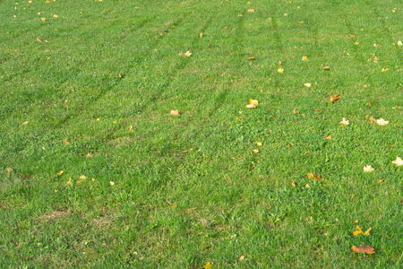 Yellow Maple Leafs on Grass photo