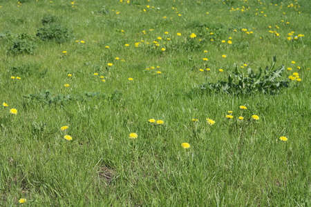 Dandelion at Spring photo