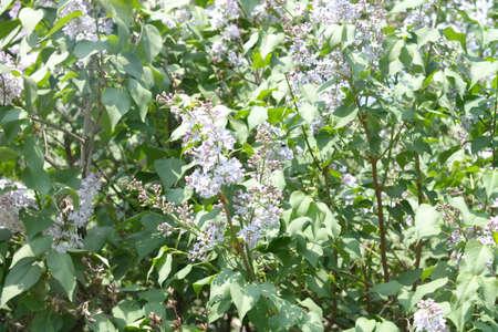 Lilac at Spring photo