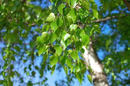 Birch at spring Day photo