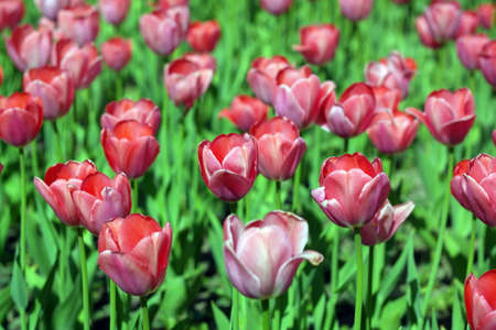 Red Tulip at Spring photo