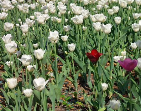 tripped: White Tulip at Spring