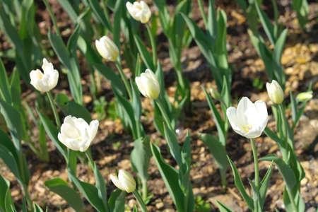 tripped: White Tulips at Spring Stock Photo