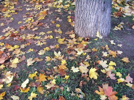 leafs: maple leafs