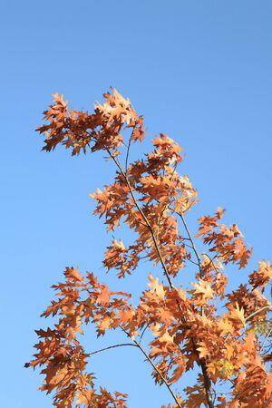 leafs: red oak leafs at autumn