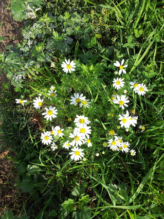 chamomile in sunny day