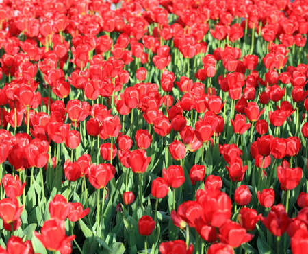 tulips field: Red Tulips field Stock Photo