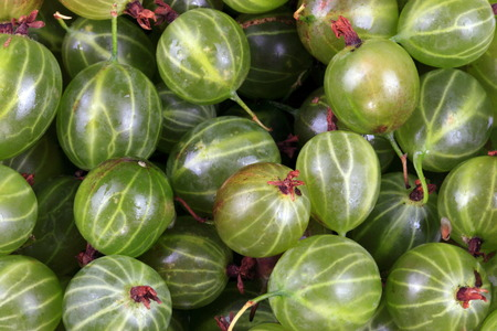 grosella: green gooseberry fruits