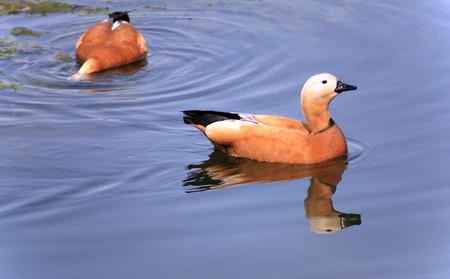 dos roody shelduck sobre el agua en el día Foto de archivo