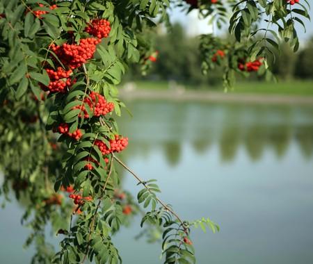 ashberry avec des feuilles sur fond de ciel