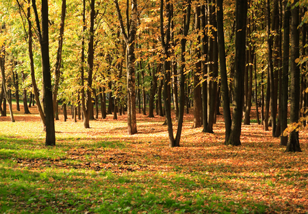 trees in gold fall at september Reklamní fotografie