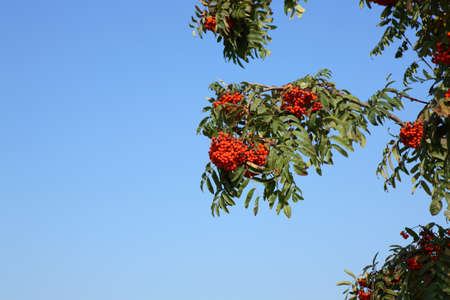ashberry with leafs on sky background, spetember Banque d'images