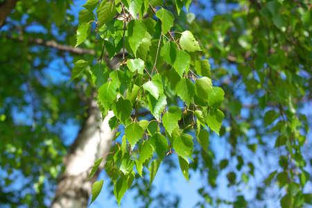 Birch at spring Day