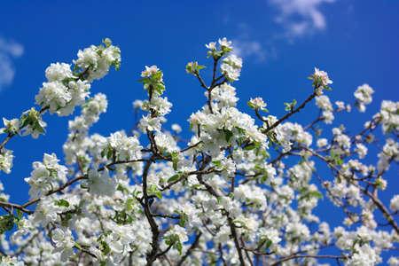 Apple Flower at Spring Banque d'images
