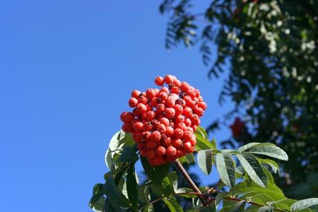 rowan tree at dry sunny day