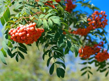 rowan tree at dry sunny summer day